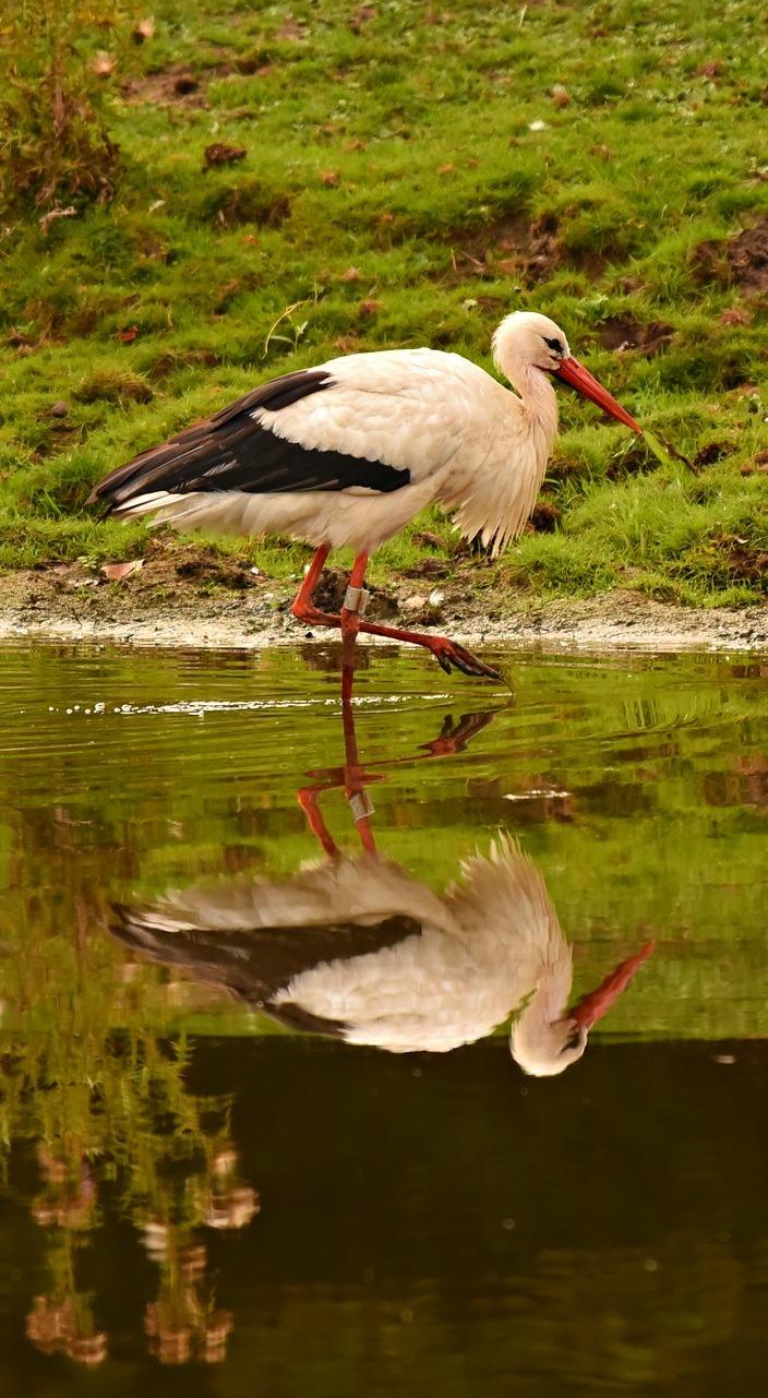 A stork wading through water.