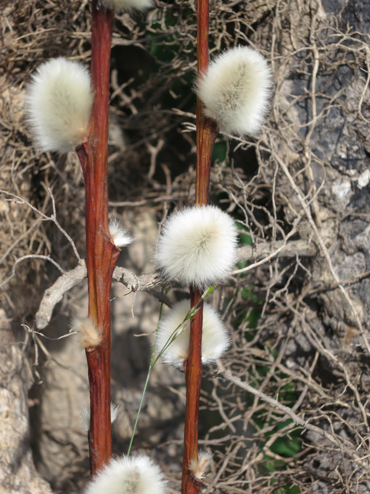 Large white, fluffy seedheads on brown stalks