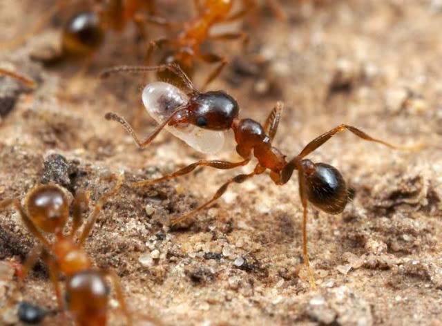 النملة تتحطم كالزجاج