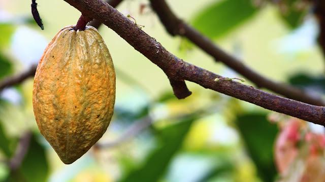 Cacau, o tesouro marrom que tem sua origem na Amazônia