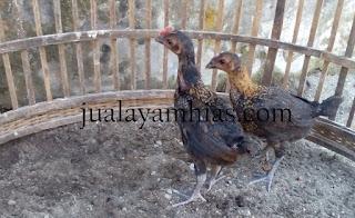 Ayam Pelung Usia 2 Bulan