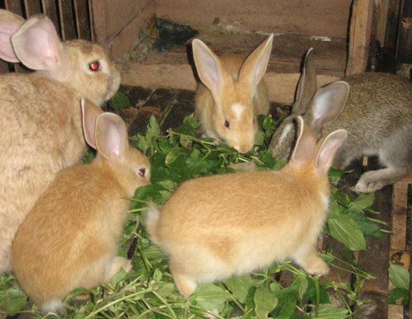Foto Mengapa Induk Kelinci tidak Mau Menyusui