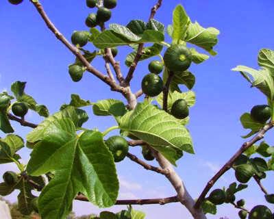 Diminum secara rutin mengkonsumsi rebusan Manfaat Teh Daun Tin / Ara / Figs