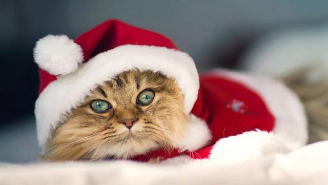 Fotos grandes y bonitas de gatos con gorro de papá Noel