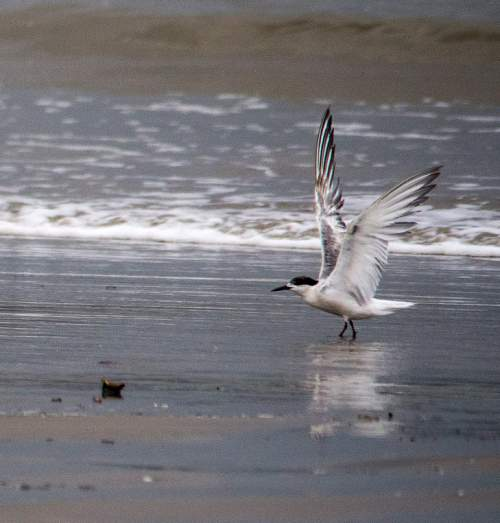 Birds of India - Photo of White-cheeked tern - Sterna repressa