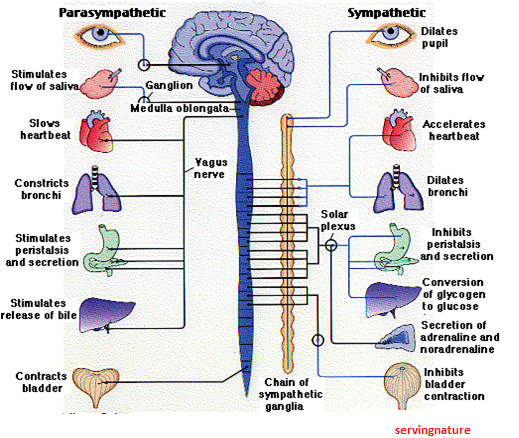Healthy Body-Healthy Mind: ANS Pharmacology