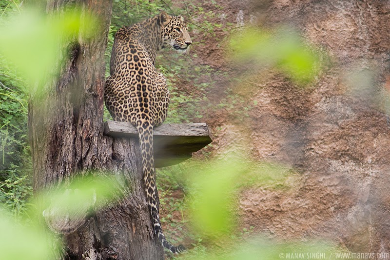 Leopard at Nahargarh Biological Park, Jaipur, Rajasthan.