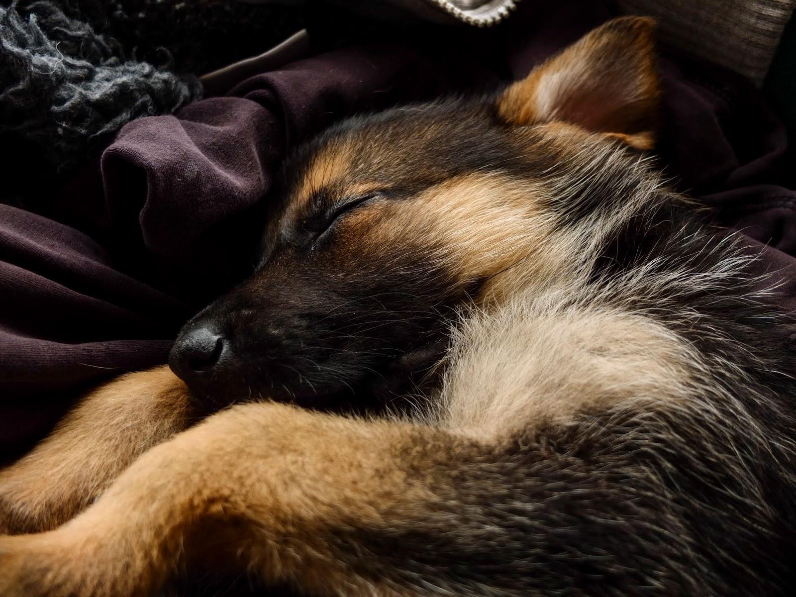 A 6 weeks old German Shepherd pup Nala sleeping.