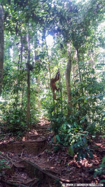 ver-orangutanes-en-borneo-sepilok-adios-a-mi-objetivo