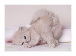 أجمل صور قطط رائعة جدا قطة صغيرة