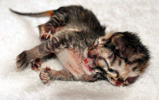 Si Tuah, Kucing Bermuka Dua Sudah 'Pergi' Buat Selamanya