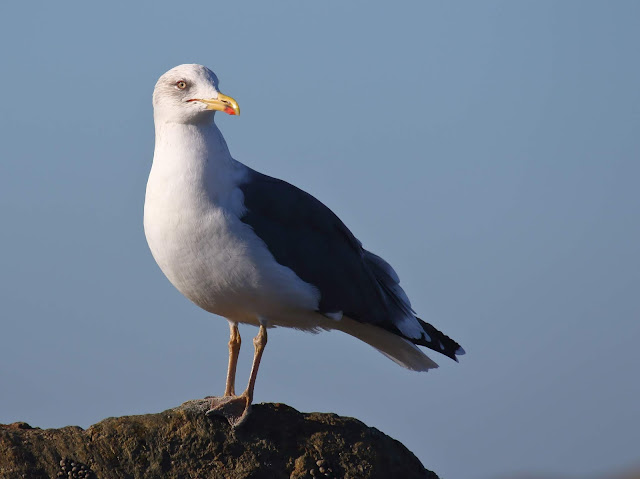 Lesser Black-backed Gull. Coronado, California.