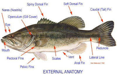 External Fish  Anatomy Picture