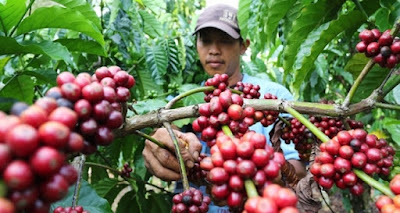 Bantuan Bagi Petani Kopi di Lambar Minim, artikel kopi, Yamada Kopi