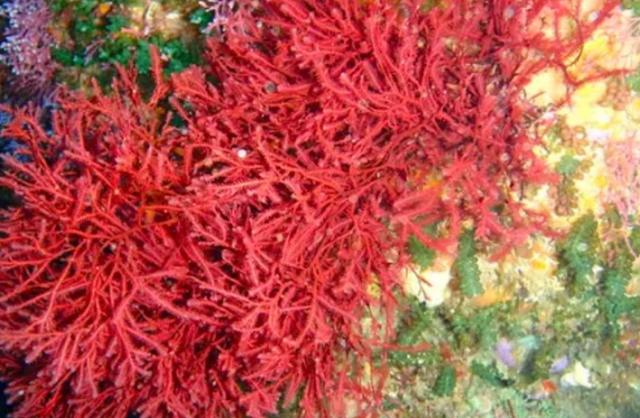 Ganggang Merah