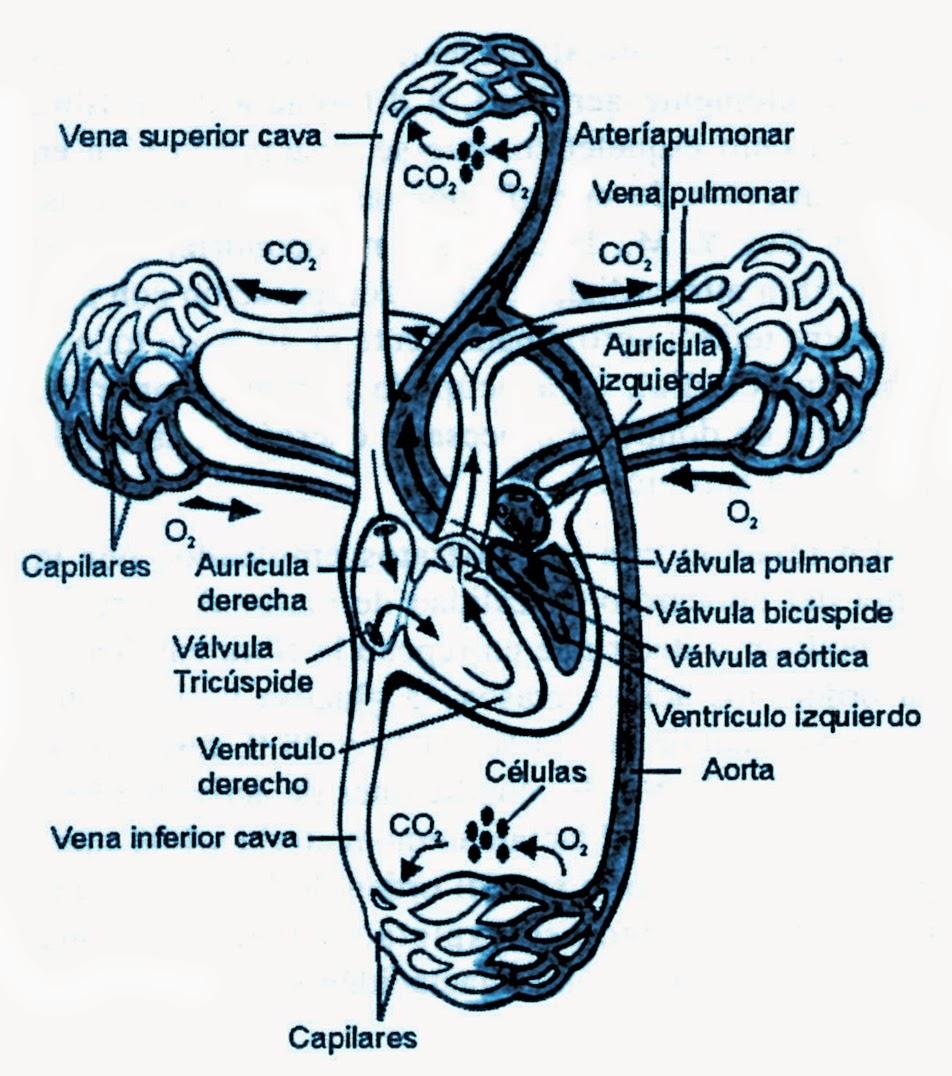 Estructura del sistema cardio-vascular: circuitos mayor y menor de ...