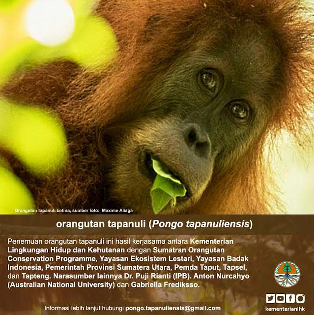 Orangutan Tapanuli (Pongo Tapanuliensis), Spesies Baru Orangutan di Sumatera