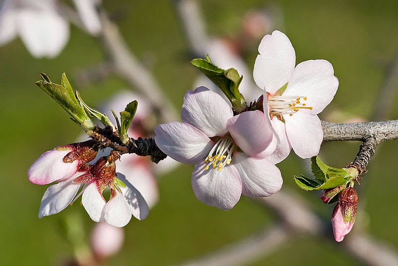 the almond tree the promise and the beauty a symbol of resurrection