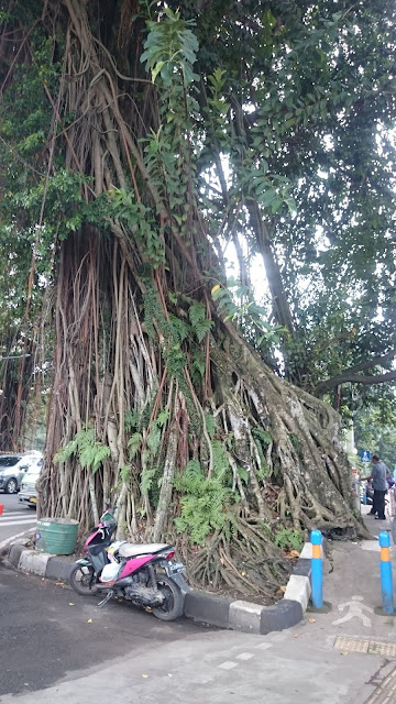 Old Big Tree Just Opposite the President Palace Bogor - Image: Author