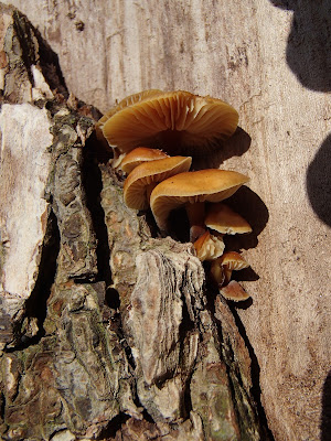 Zimówka aksamitnotrzonowa - Flammulina velutipes