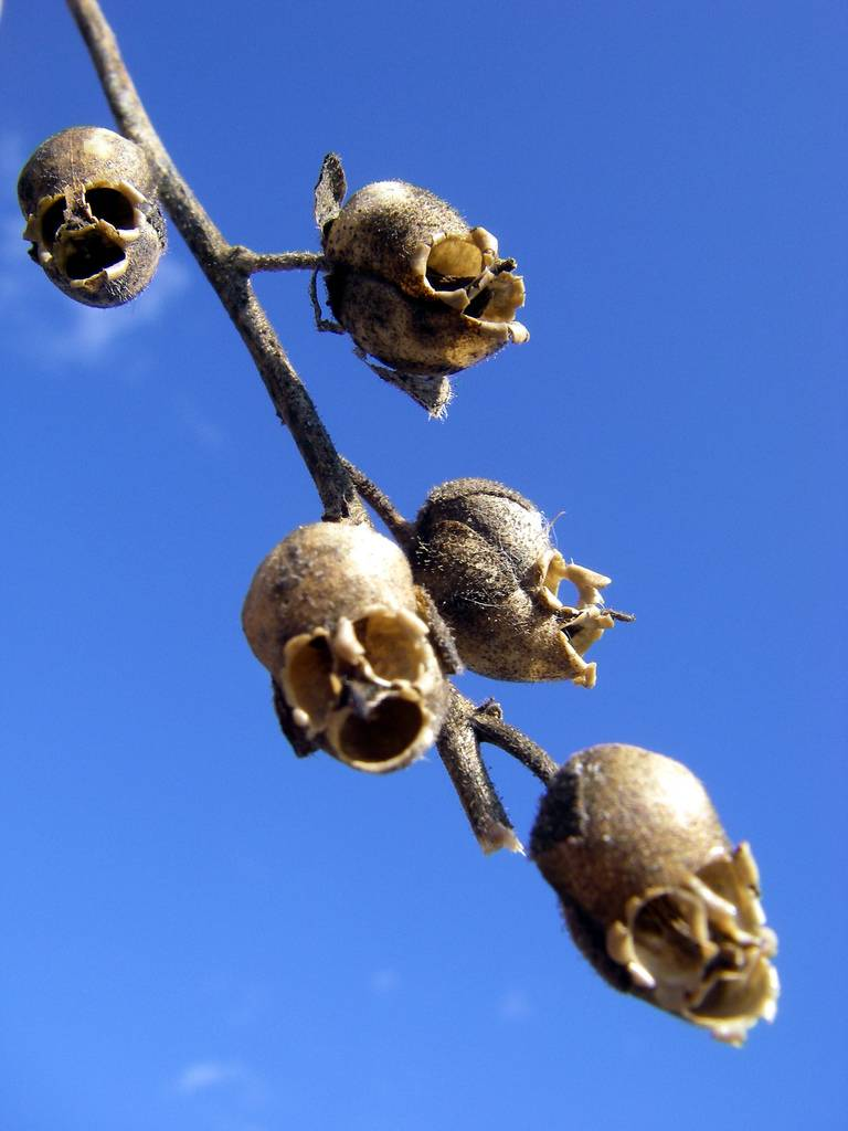 The Dragons Skull The Macabre Appearance Of Snapdragon Seed Pods