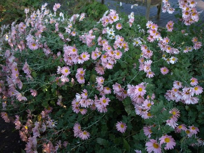Chrysanthemum 'Hillside Sheffield' Foto Longwood Gardens