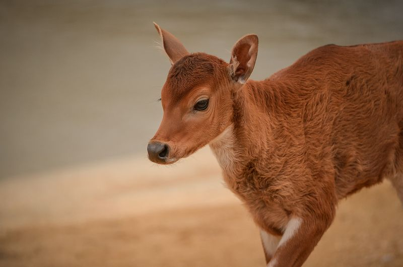 Baby Animals: Baby Cow 3