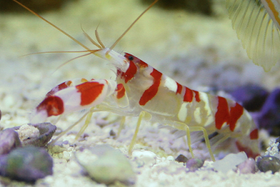 candy cane shrimp