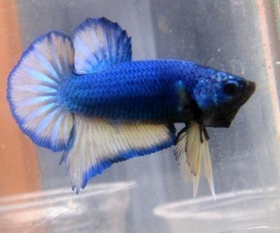 arseniastar: Jual Ikan Cupang Berkualitas Edisi Januari 2012