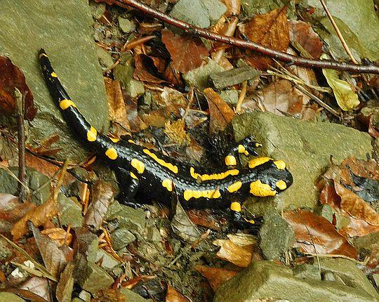 Salamandra plamista (Salamandra salamandra).