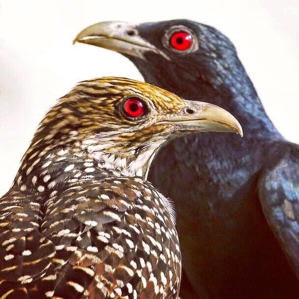 Burung kedasih Ulik-Ulik Tuwu Jantan dan Betina