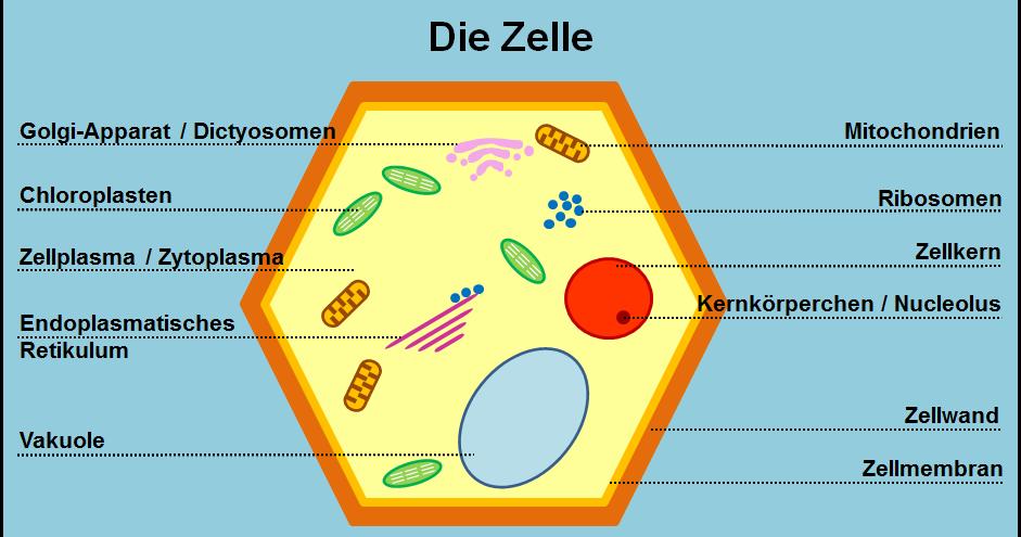 Aufbau Einer Zelle Arbeitsblatt : Microscopy pictures die zelle bild