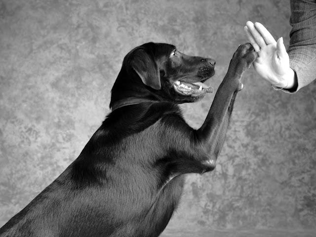 Primeiros entendimentos sobre adestramento   Adestramento de cães - Quem ama educa Do mesmo jeito que crianças precisam aprender a respeitar e obedecer aos seus pais, alguns comandos básicos servem  para exercitar a obediência do cão.