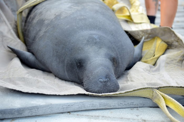 A baby manatee