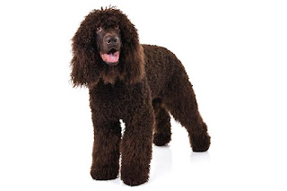 Everything about your Irish Water Spaniel