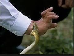 Cara menolong orang yang digigit ular
