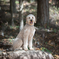 Wilson our Standard Poodle
