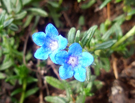 Carrasquilla azul (Lithodora diffusa) flor silvestre azul