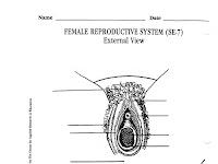 Female Reproductive Diagram
