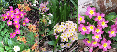 A selection of pink and white flowers, could be primulas?