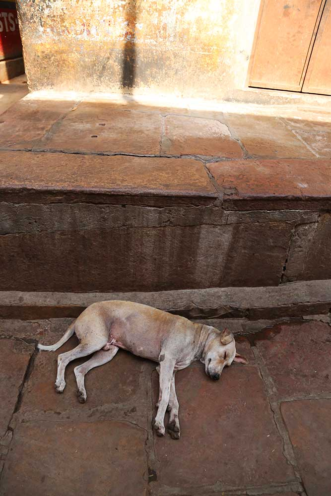 Exploring Varanasi with it's dogs   and why Indian dogs are