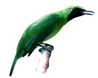 CIRI-CIRI CUCAK IJO BANYUWANGI PALING AKURAT, 5 Ciri Burung Cucak Ijo Banyuwangi Beserta Fotonya, Semua Macam Jenis Burung Cucak Ijo Lengkap dengan Gambar