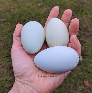Backyard chickens have longer life span