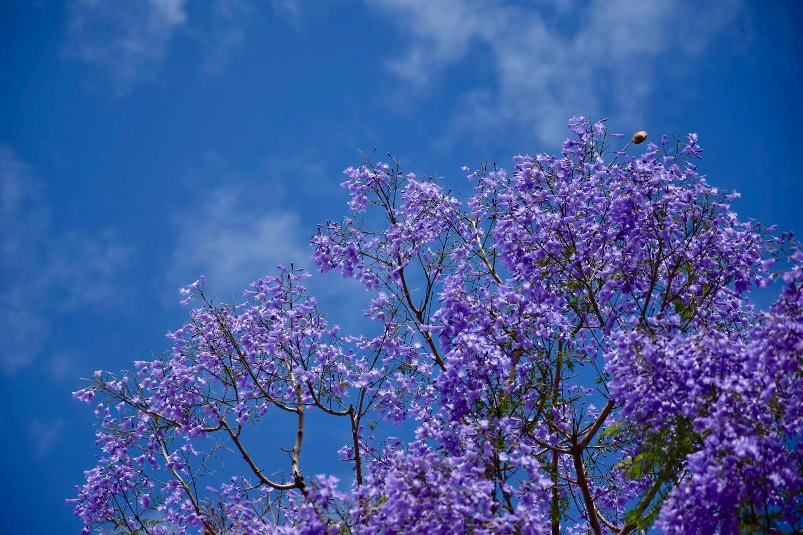 Tam, gdzie kwitną jakarandy...