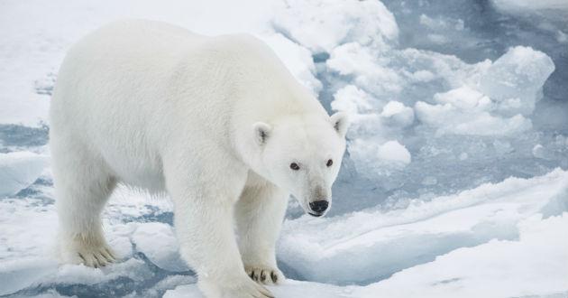 Imagenes De Osos Polares: Osos Polares