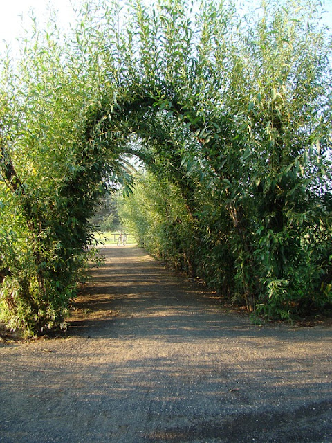 Picture of Living willow tunnel sculpture