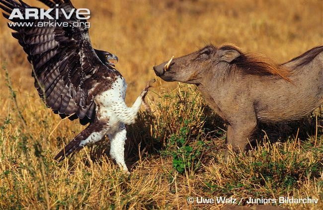 martial eagle fighting