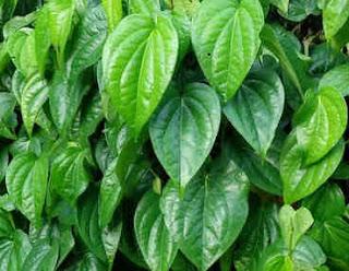 Cara mudah menghilangkan jerawat membandel secara alami dengan daun sirih