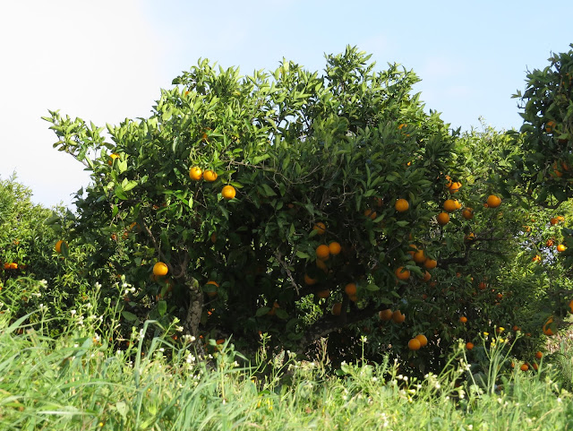 Orange Tree - Portugal