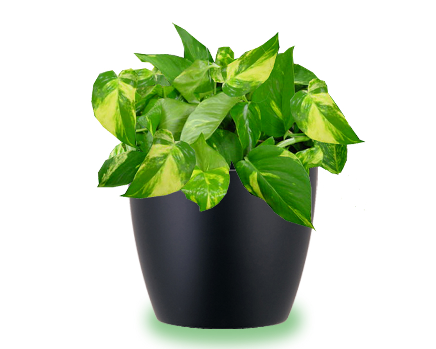 House Plants Care And Guides Pothos Plant Care Instructions